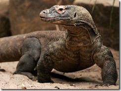 Indonesia Komodo Dragon Attack